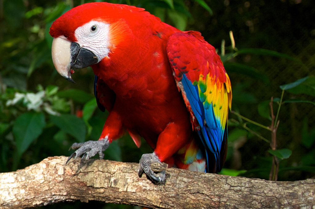 scarlet-macaw-1